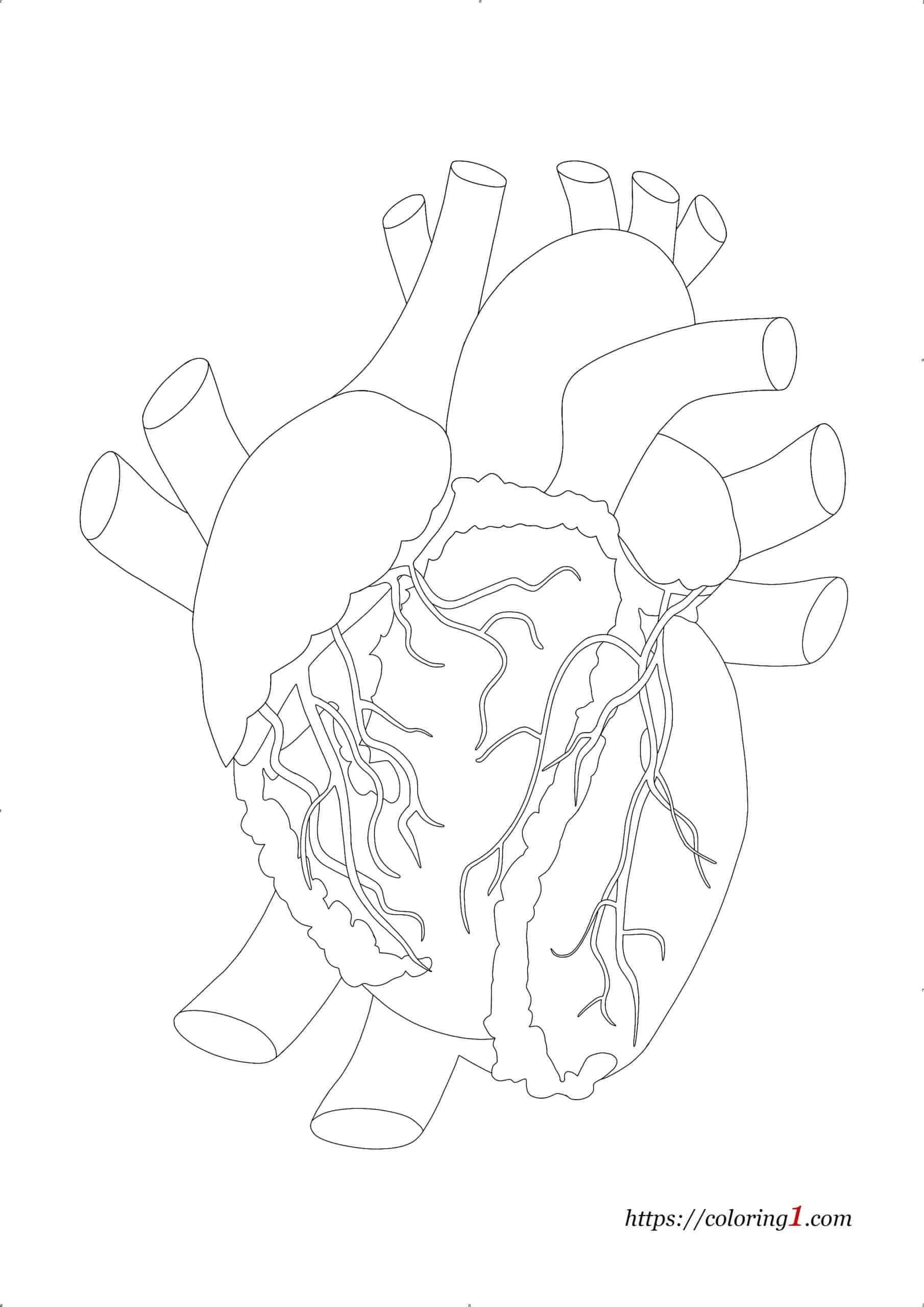 Real Human Anatomical Heart coloring page